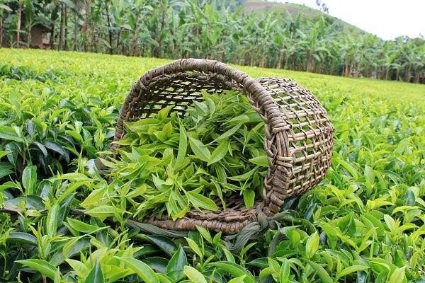 خرید چای لاهیجان - خرید چای شمال